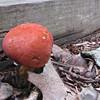 Pretty Red-Orange Mushroom - Anybody Know the Name? - Rockwood Nature Center