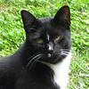 Stubbie - Cat in Yard at Basic Necessities copy
