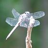Three Lakes Nature Center - Richmond, VA - Unidentified Dragonfly