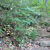 Rocky Path With Lots of Native Plants - Crabtree Falls, Tyro, VA