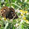 Common Buckeye on Asters - Drumheller's Apple Harvest Festival - Lovingston, VA  10-17-10