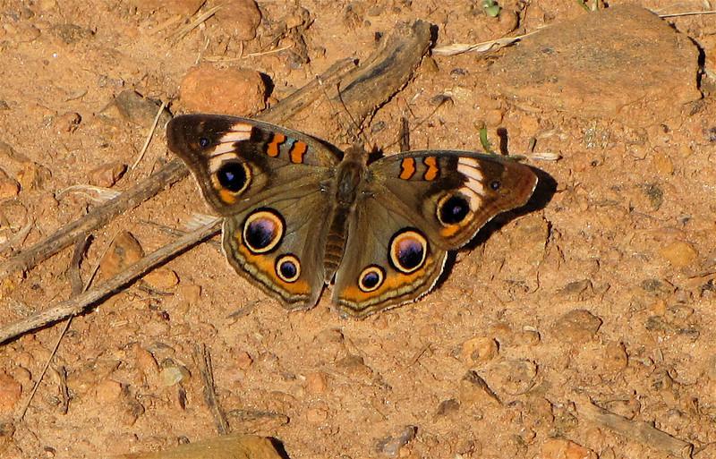 Common Buckeye Butterfly - Drumheller's Apple Harvest Festival - Lovingston, VA  10-17-10