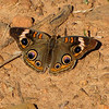 Common Buckeye Butterfly - Drumheller's Apple Harvest Festival - Lovingston, VA  10-17-10