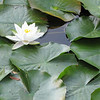 Lily in Pond - Eden Arboretum - Eastern Mennonite University - Harrisonburg, VA