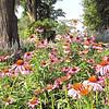 Purple Coneflowers - Eden Arboretum - Eastern Mennonite University - Harrisonburg, VA