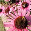 Bee with Pollen Filled Legs on Purple Coneflower - Eden Arboretum - Eastern Mennonite University - Harrisonburg, VA