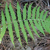 Cinnamon Fern - Freedom Park, Williamsburg, VA