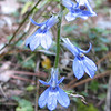 Downy Lobelia - Freedom Park, Williamsburg, VA