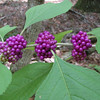 Beauty Berry - Freedom Park, Williamsburg, VA