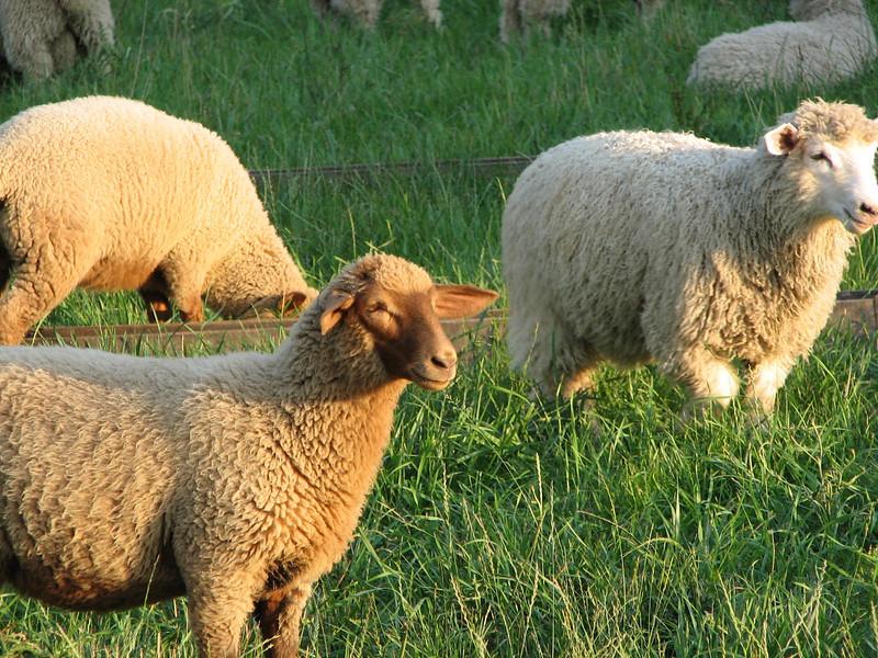 Happy Sheep - Frontier Culture Museum