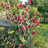 Old-Fashioned Hollyhocks - Frontier Culture Museum
