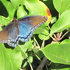 Red-spotted Purple Admiral Butterfly (Female) at Fruit Hill Orchard - Palmyra, VA