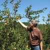 Randal Picking Gala Apples in Fluvanna County