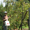 Picking Apples in Fluvanna County - Gala Variety - Only 34 cents a pound