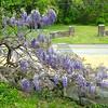 Wisteria by Parking Area - Gari Melchers' Home & Studio - Belmont Estate - Fredericksburg, VA