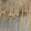 Mallards on the Pond - Grandview Preserve - 1-12-07