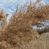 Grasses Were Loaded With Seeds - Grandview Preserve - 1-12-07