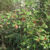 Bush with Berries Makes Great Wildlife Food - Grandview Preserve - 1-12-07