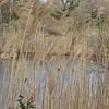 Mallard Ducks Beyond the Grasses - Grandview Preserve - 1-12-07