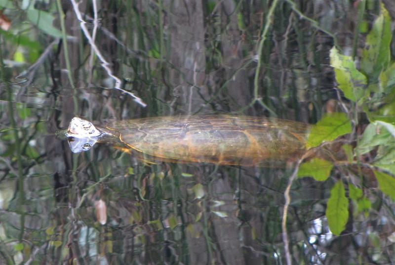 Turtle - Hudnell Ditch Trail - Great Dismal Swamp NWR, Suffolk, VA  4-9-11