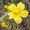 Carolina Jessamine - Hudnell Ditch Trail - Great Dismal Swamp NWR, Suffolk, VA  4-9-11<br /> Also known as Yellow Jasmine.