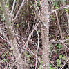 Older Tree Trunk of Devil's Walking Stick - Hudnell Ditch Trail - Great Dismal Swamp NWR, Suffolk, VA  4-9-11