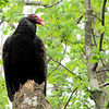 Turkey Vulture (Cathartes aura) - Jericho Lane Entrance to Great Dismal Swamp NWR, Suffolk, VA  4-9-11<br /> These vultures are 25 to 32 inches long, with a wingspan around 6 feet.  Adults weigh approximately 5-6 pounds.  The turkey vulture's head (like the head of its namesake, the wild turkey) is bald and red. Its plumage is primarily dark brown. There is an important purpose to the vulture's bald head.  When the vulture is eating carrion, it must often stick its head inside the carcass to reach the meat. A feathery head would capture unwanted pieces of the vulture's meal (just like food can stick in men's beards), along with all the bacteria such pieces would host. The bald head, ultimately, is a matter of hygiene for vultures.  Turkey vultures do not have a voice box and thus have limited vocalization capabilities. They can only utter hisses and grunts. They usually hiss when they feel threatened. Grunts are commonly heard from hungry young, and adults in courtship.