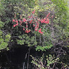 What Do You Think That Red Plant Is? - Hudnell Ditch Trail - Great Dismal Swamp NWR, Suffolk, VA  4-9-11<br /> Would you believe a maple tree?  Red Maples (Acer rubrum), also known as Swamp Maples, populate the swamps of this area.   This one is leaning over a ditch of flowing water.  In Spring when they begin to come to life, they produce those little whirlybirds that spiral to the ground.  That's the red that you see.  See closeup on later photo with more info.