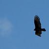 Turkey Vulture in the Sky - Great Falls National Park - McLean, VA  10-1-10