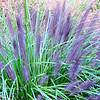 Pretty Grasses at Great Falls National Park - McLean, VA  10-1-10