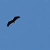 Bald Eagle Flying High - Great Falls National Park - McLean, VA  10-1-10