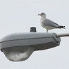 Seagull on Shopping Center Light