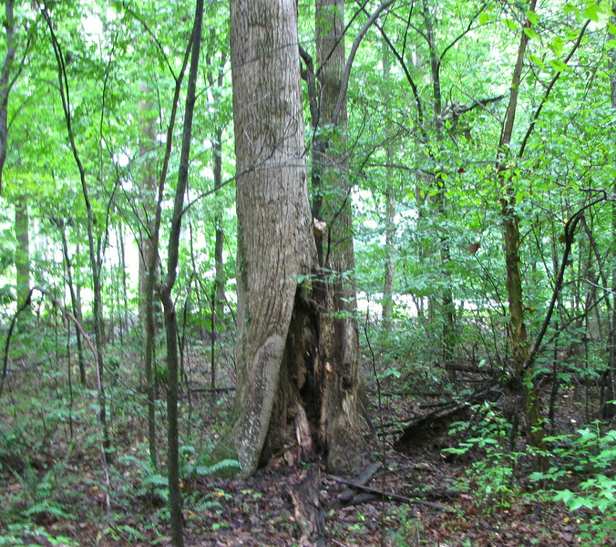 Tall Tree Without Firm Foundation - Wilson Nature Trail<br /> We can live life and become what we were meant to be no matter what our past holds in our memories.  Leave the past behind and soar as you were designed and created to do.