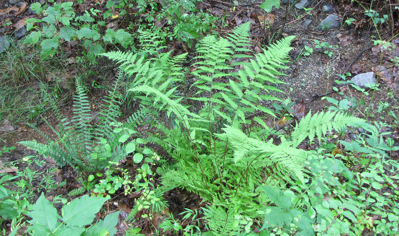 Ferns - Wilson Nature Trail