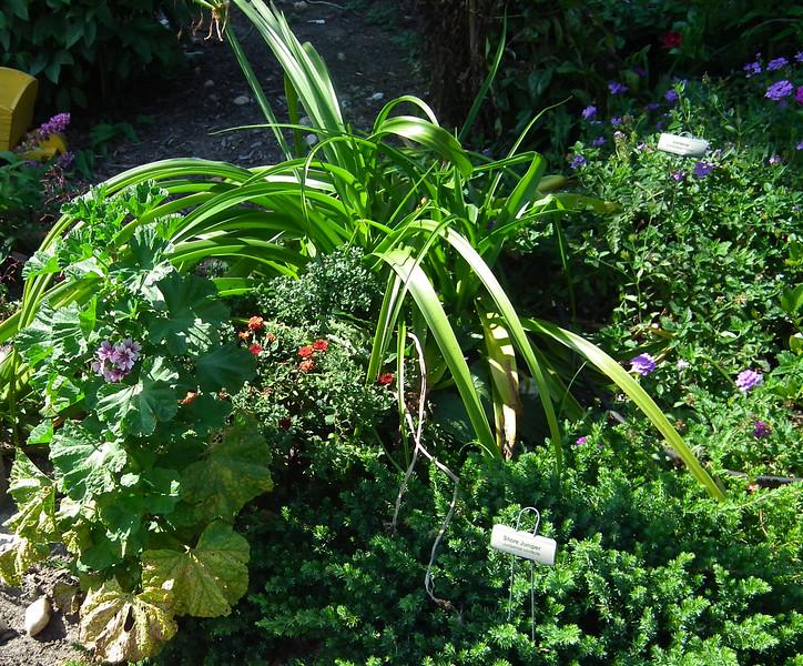 Master Gardener Display Garden & Arboretum - Bluebird Gap Farm - Hampton, VA<br /> The plant at the bottom right is Shore Juniper.  Much finer texture and lighter color of green.  Purple Verbena in the background.