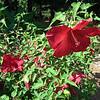 Huge Hibiscus Flower - Master Gardener Display Garden & Arboretum - Bluebird Gap Farm - Hampton, VA