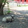 Sheep - Bluebird Gap Farm - Hampton, VA