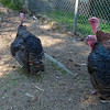 Big Turkeys - Bluebird Gap Farm - Hampton, VA