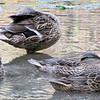 Ducks Playing Peek-a-Boo - James Madison University's Edith J. Carrier Arboretum - Harrisonburg, VA