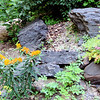 Butterfly Weed on Bank of Rocks - James Madison University's Edith J. Carrier Arboretum - Harrisonburg, VA