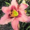 Daylily at Education Buidling Garden - James Madison University's Edith J. Carrier Arboretum - Harrisonburg, VA
