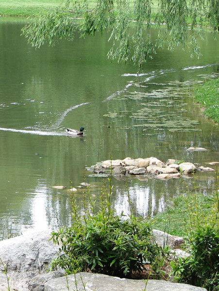A Duck Swims for Shore