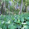 Blooming Hosta Lillies - James Madison University's Edith J. Carrier Arboretum - Harrisonburg, VA