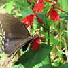 Possible Spicebush Swallowtail Butterfly on Cardinal Flower - Humpback Rocks Visitors Center - Milepost 5.8 - Blue Ridge Parkway  9-3-10