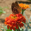 Great Spangled Fritillary on Zinnia - Humpback Rocks Homestead Garden
