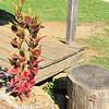 Coleus Growing Out of Stump - Humpback Rocks Visitors Center - Milepost 5.8 - Blue Ridge Parkway  9-3-10