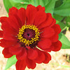 Red Zinnia - Humpback Rocks Visitors Center - Milepost 5.8 - Blue Ridge Parkway  9-3-10