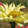 Female Sachem Skipper Butterfly on Zinnia - Humpback Rocks Visitors Center - Milepost 5.8 - Blue Ridge Parkway  9-3-10