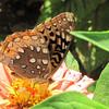 Great Spangled Fritillary - Humpback Rocks Visitors Center - Milepost 5.8 - Blue Ridge Parkway  9-3-10