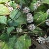 Alleghany Spurge (Pacysandra procumbens) - Ivy Creek Natural Area - 4/12/15